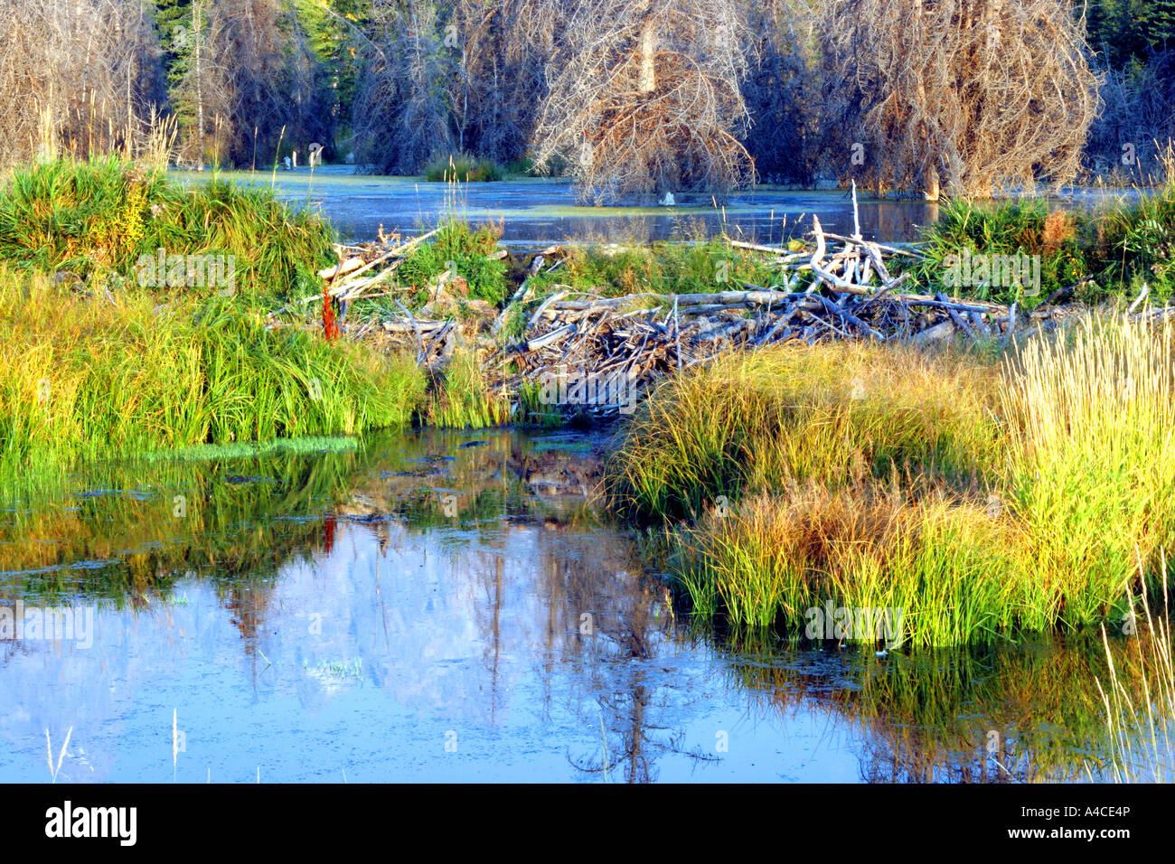 Barrage de castor et lodge, Grand Teton National Park Banque D'Images