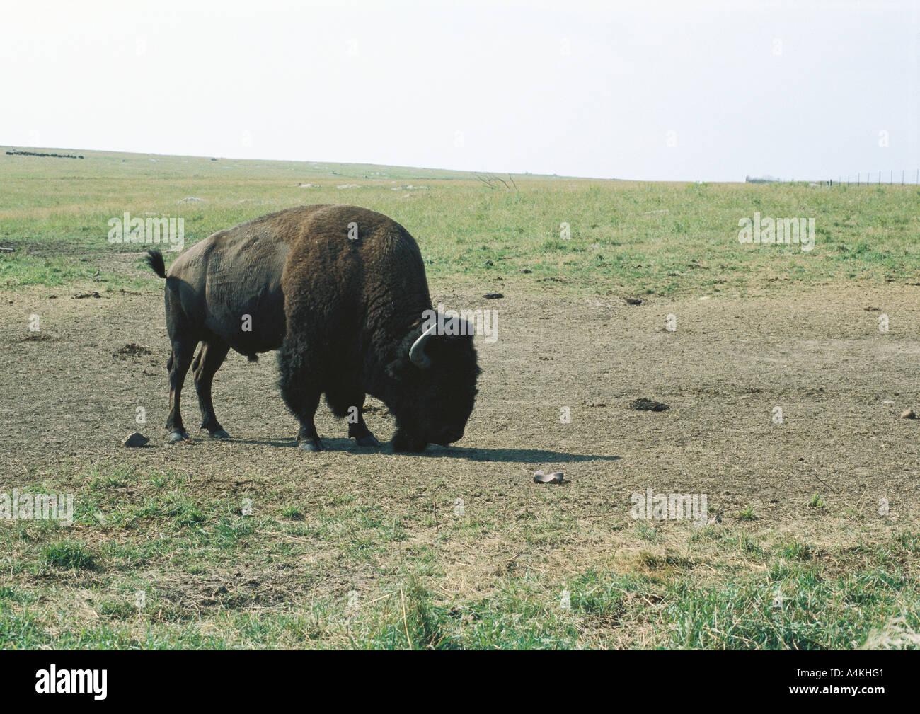 Le Dakota du Sud, Badlands National Park, buffalo grazing on plain Photo Stock