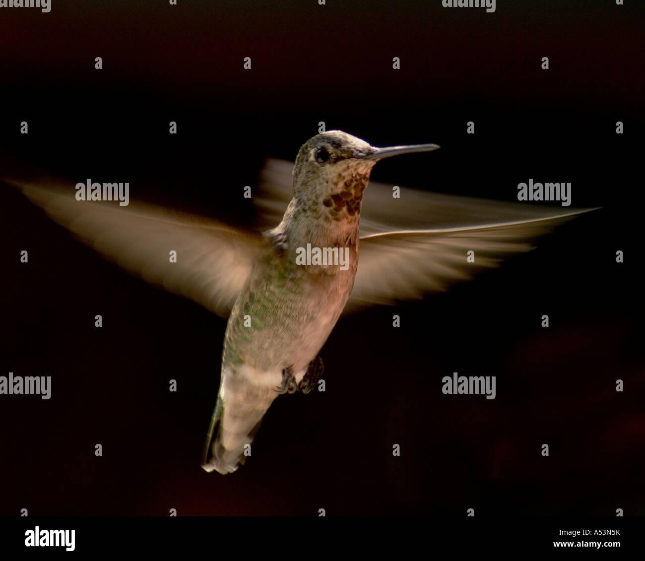 Anna's Humming Bird Photo Stock