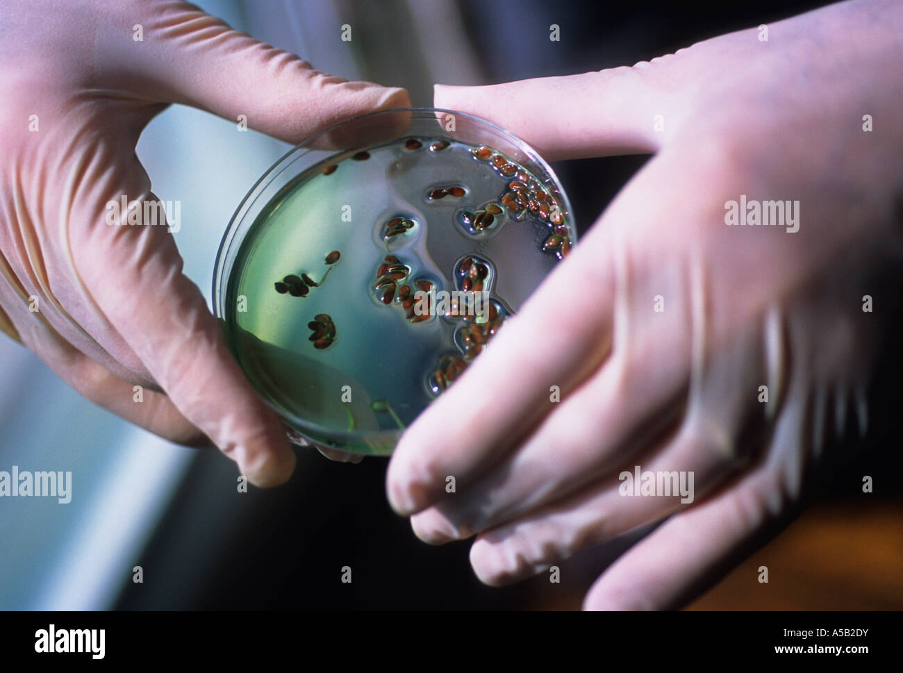 Technicien de laboratoire scientifique avec deux mains gantées de caoutchouc tenant une boîte de Pétri Photo Stock