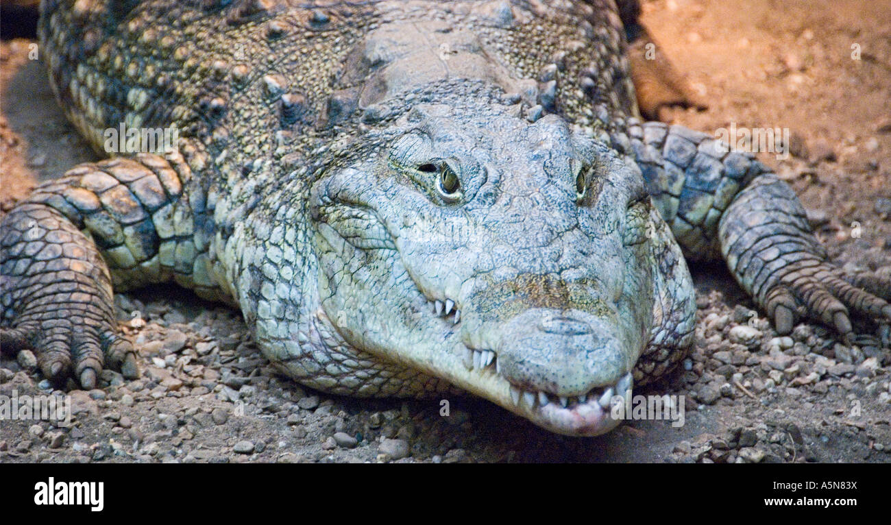 Crocodile Crocodylus Photo Stock