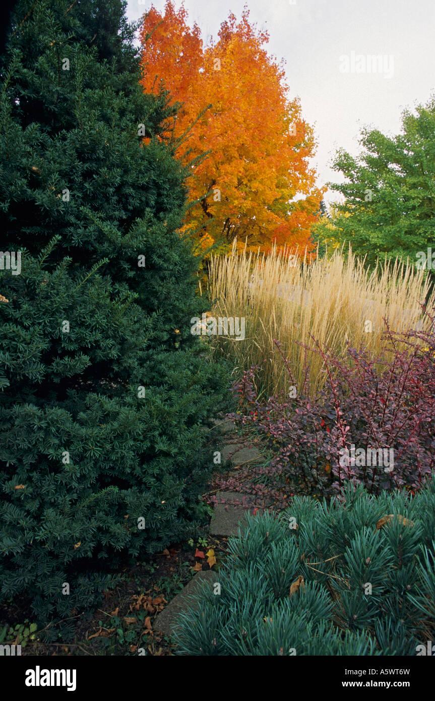 Jardin De Cour AVANT D'IF, DEBOUT LE ROSEAU EN PLUMES, 'ROSE GLOW' BARBERY ET PINUS SYLVESTRIS. De l'automne. Banque D'Images