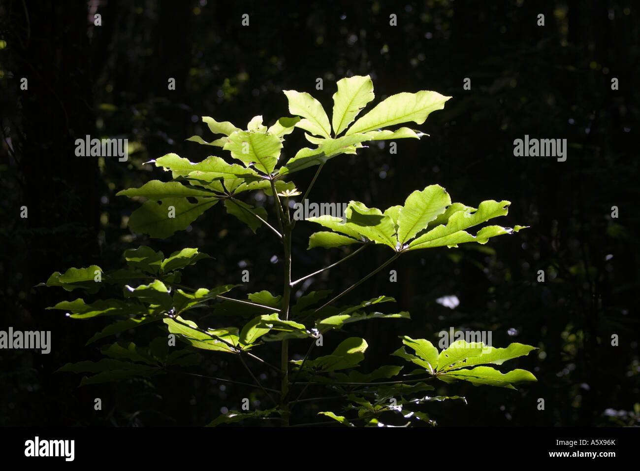 Les feuilles des plantes par la lumière du soleil en contre-jour l'île Kapiti Nouvelle-zélande Photo Stock