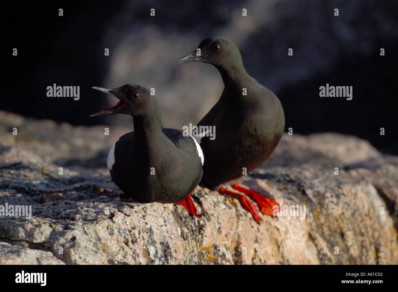 Les Guillemots Thule Greenland Banque D'Images