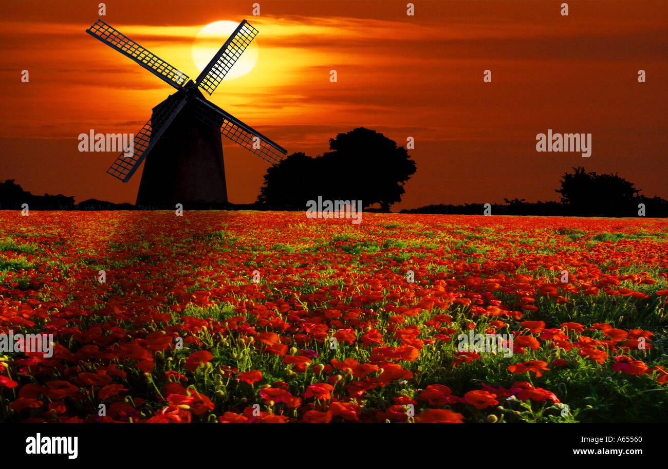 Moulin à Vent de Bembridge champ de coquelicots à l'île de Wight, Angleterre Photo Stock