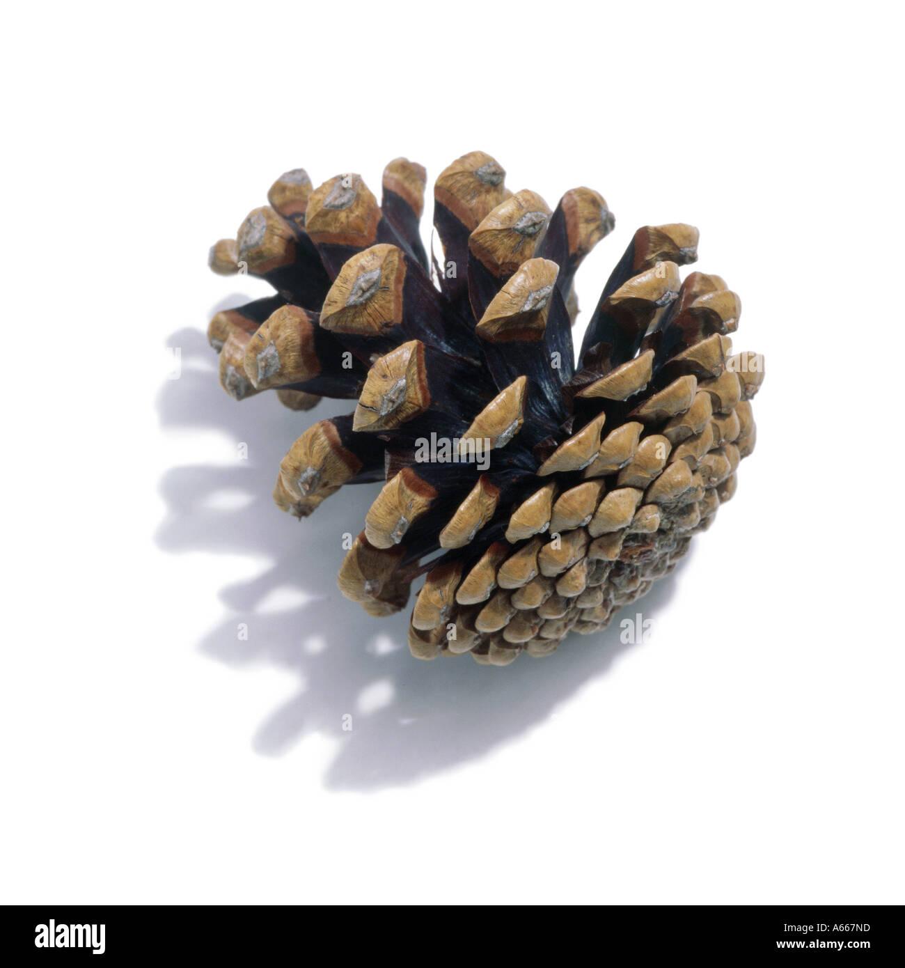 Un cône de pin Photo Stock