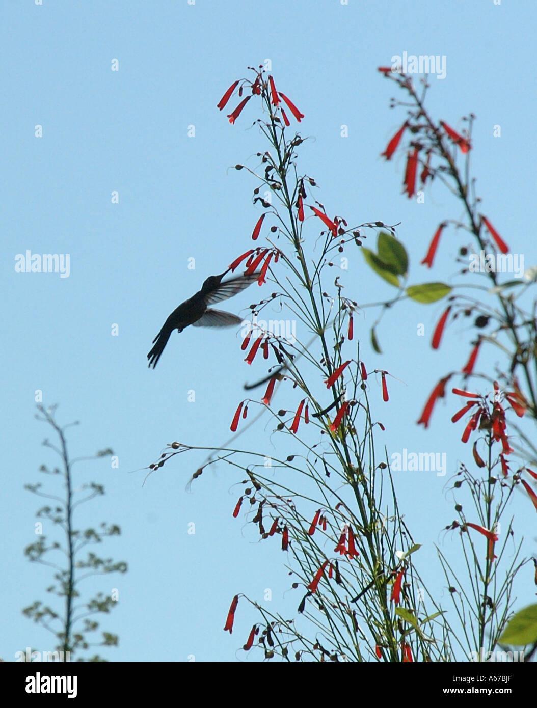 Caraïbes Humming Bird Photo Stock