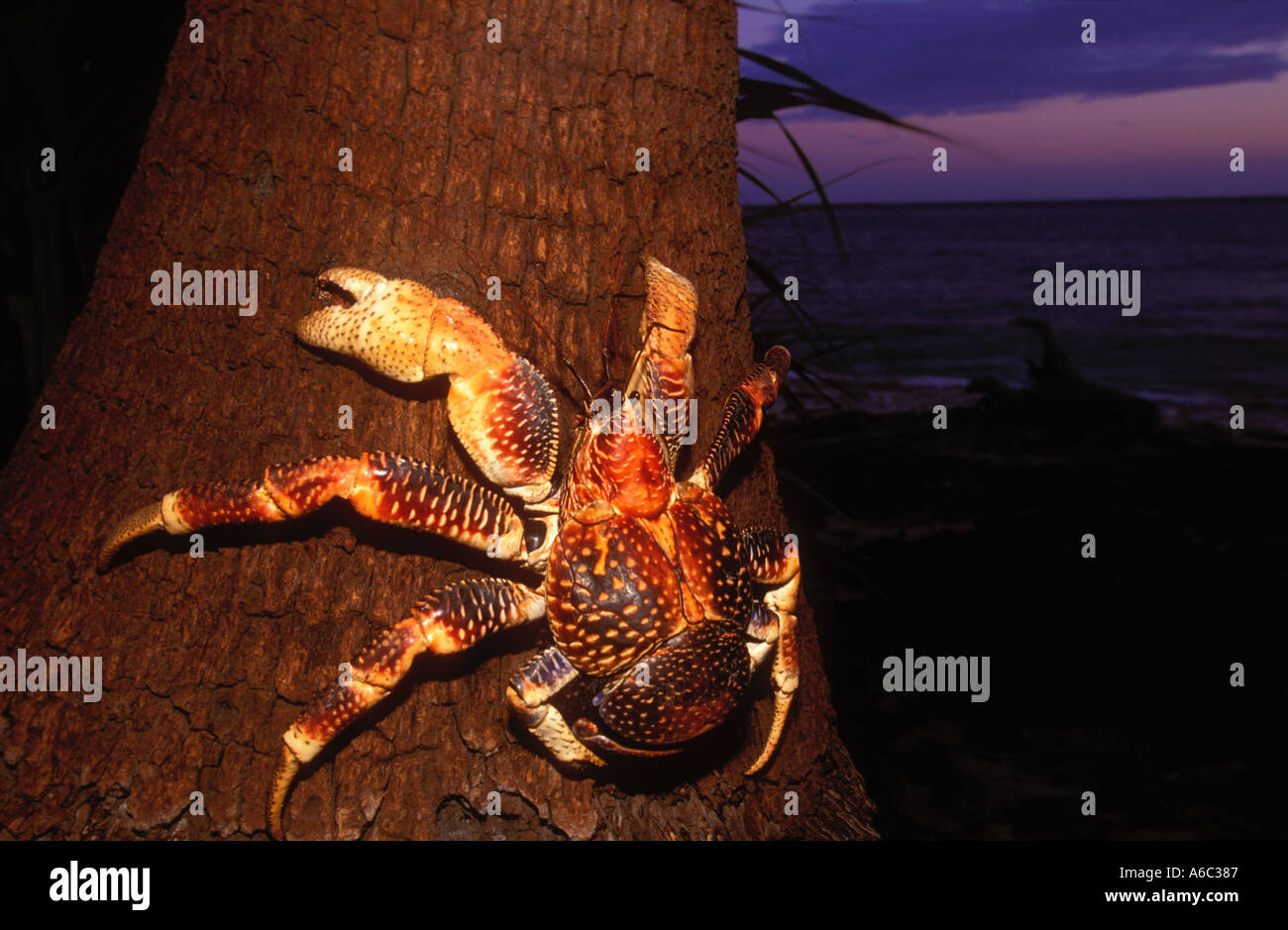 Crabe Voleur de cocotiers Birgus latro plus vaste d'un crustacé des terres menacées d'ermite Indien de l'Ouest à l'ouest de l'Océan Pacifique Photo Stock