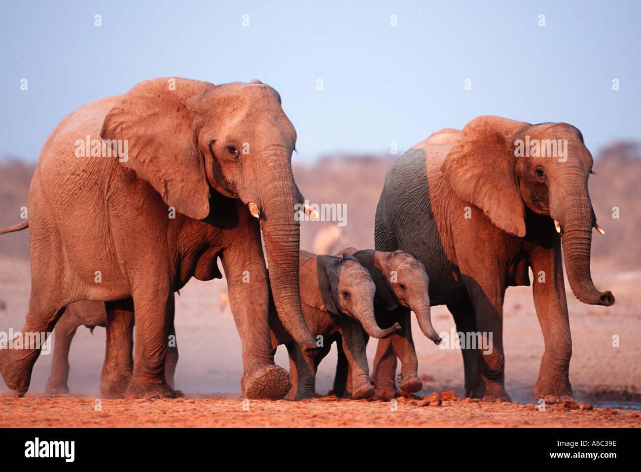 African elephant Loxodonta africana Famille Etosha groupe N P Namibie Afrique sub-saharienne Banque D'Images
