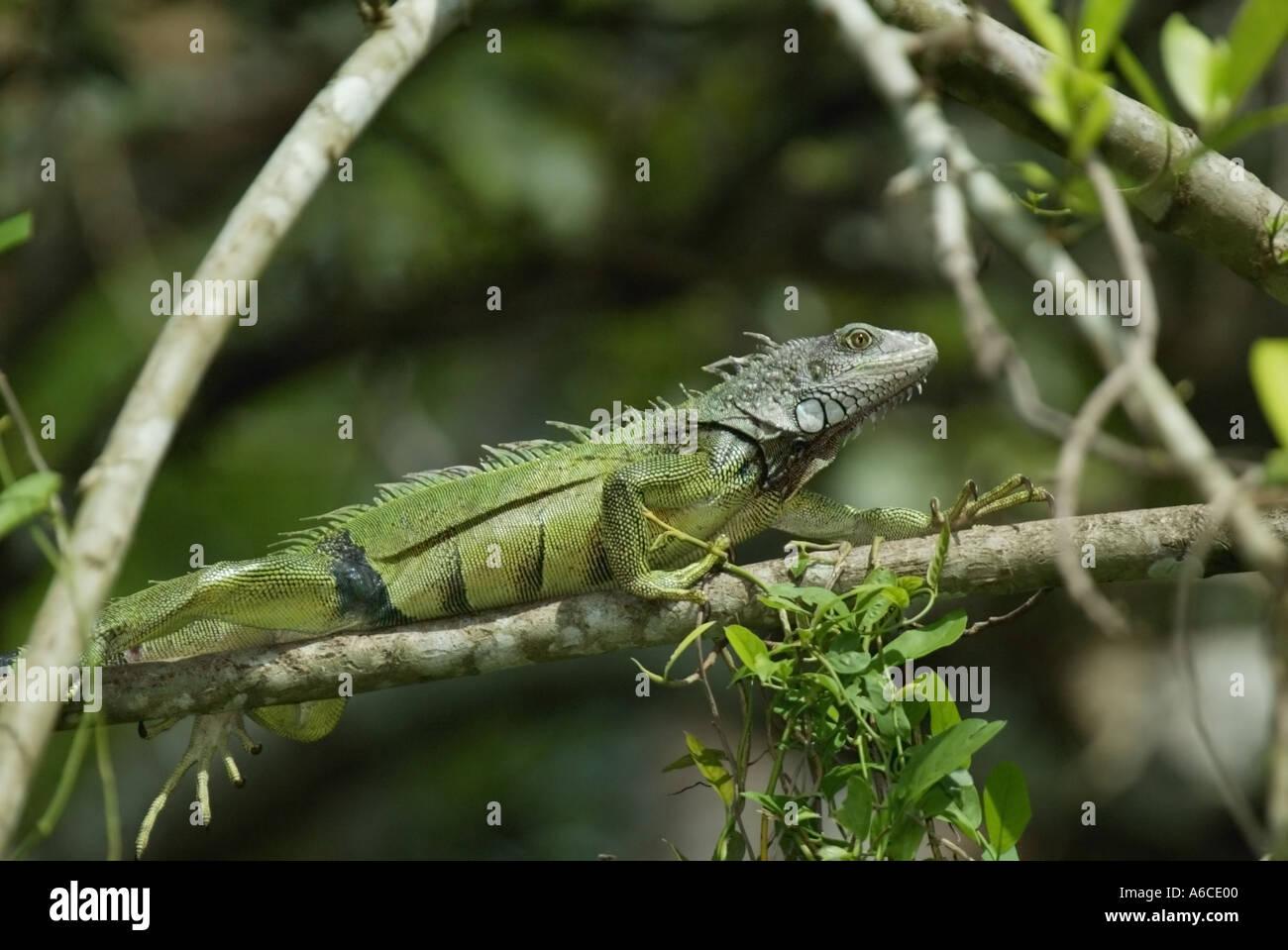Iguana le long de la rivière Chagres Panama Banque D'Images