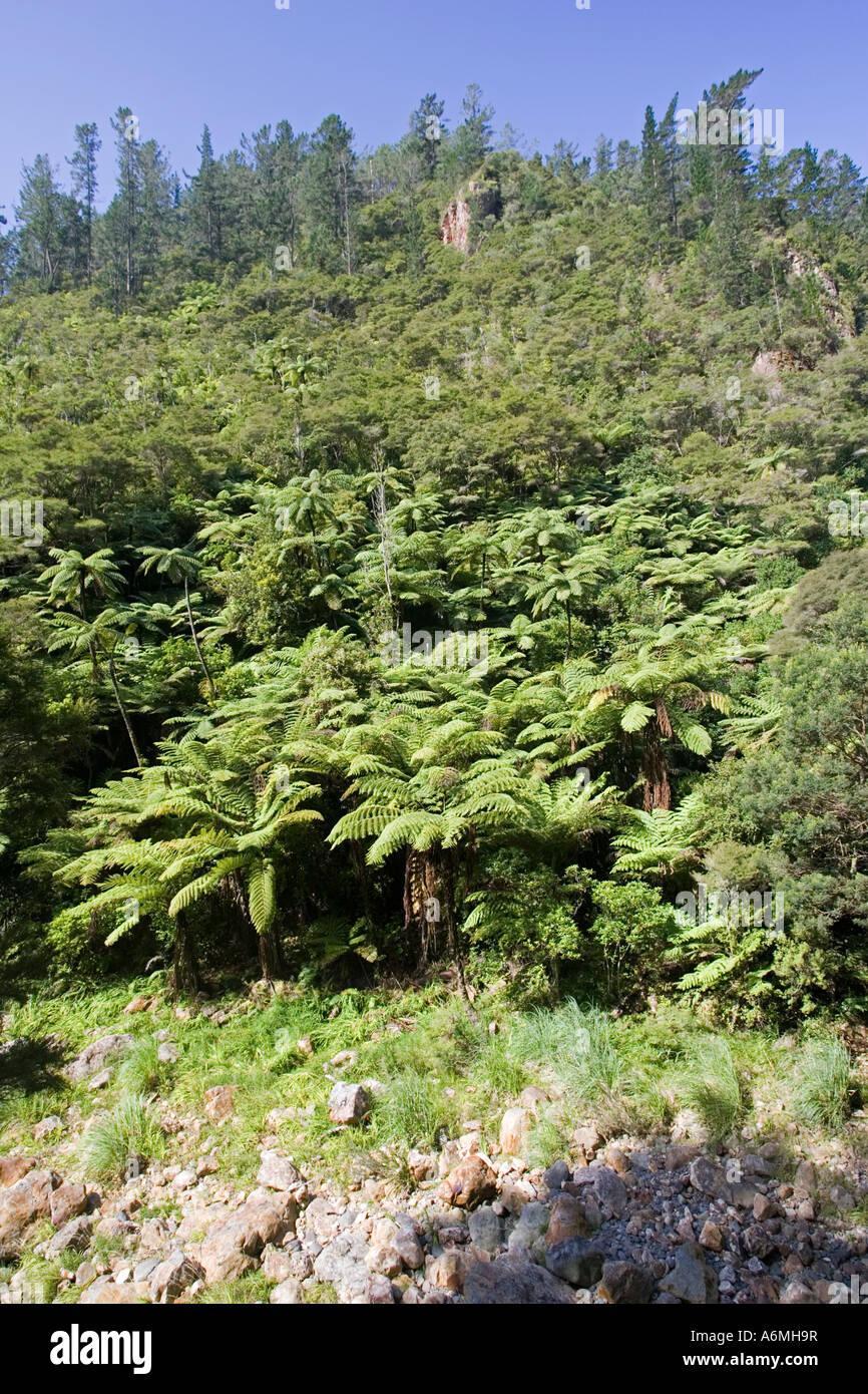 Les fougères arborescentes et forêt indigène Karangahake Gorge près de Paeroa Nouvelle-zélande Photo Stock