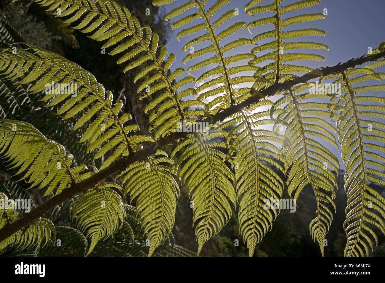 Frondes rétroéclairé de fougères arborescentes Karangahake Gorge près de Paeroa Nouvelle Photo Stock