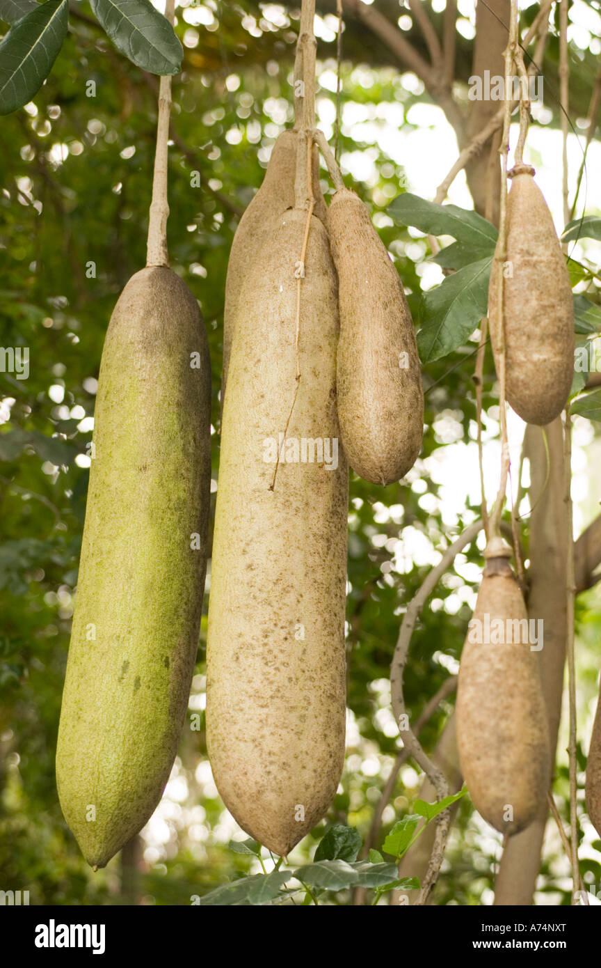 qu'est ce Martin du 21 Août trouvé par Ajonc Fruits-de-larbre-a-saucisse-bignoniaceae-kigelia-africana-a74nxt