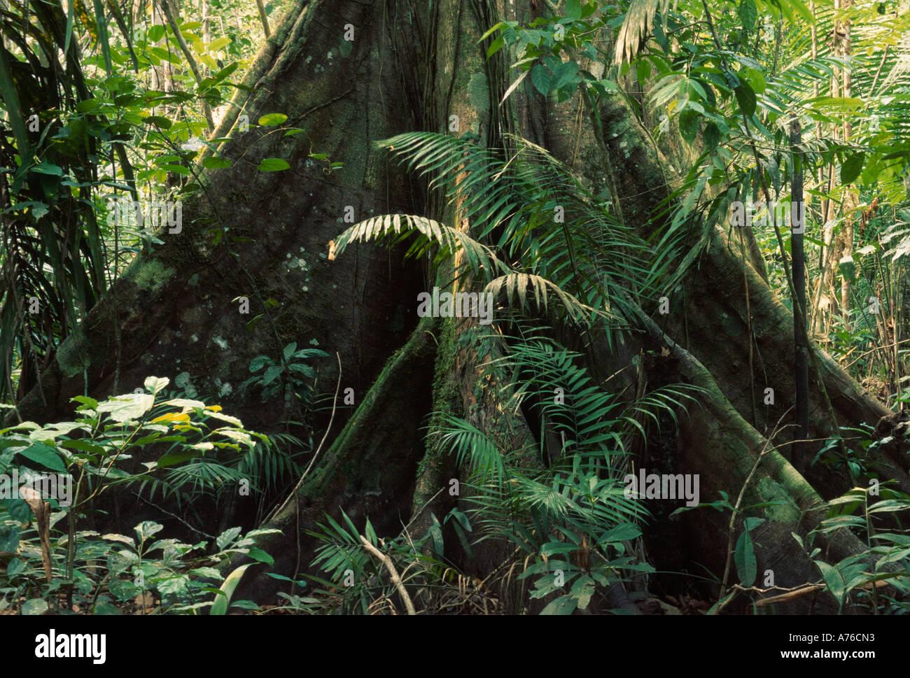 Sous-étage de la forêt amazonienne, l'arbre avec les racines contrefort Photo Stock