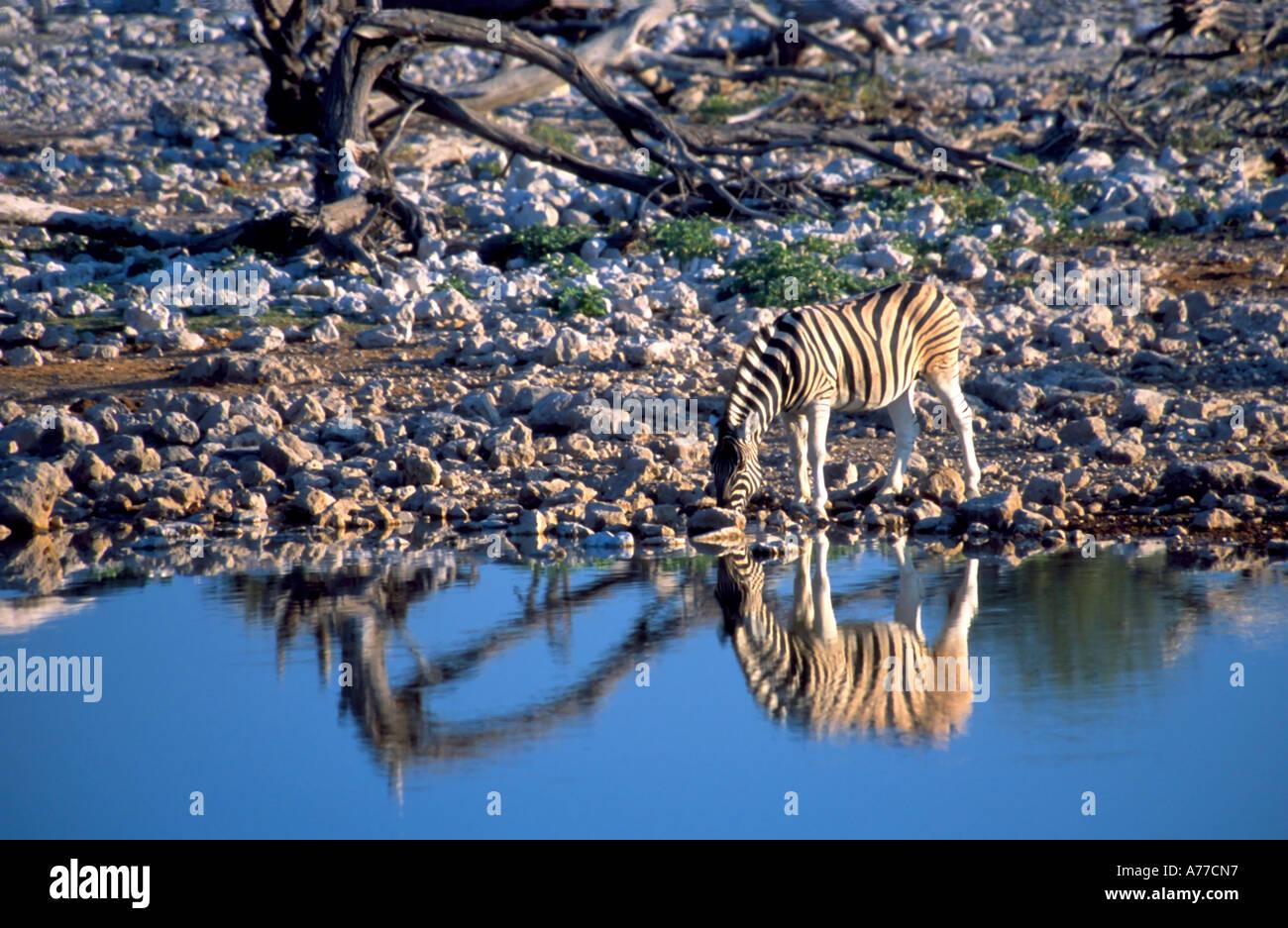 Un zèbre solitaire (Equus quagga) reflète dans l'eau comme il le manger dans un trou d'eau dans le parc national d'Etosha. Photo Stock
