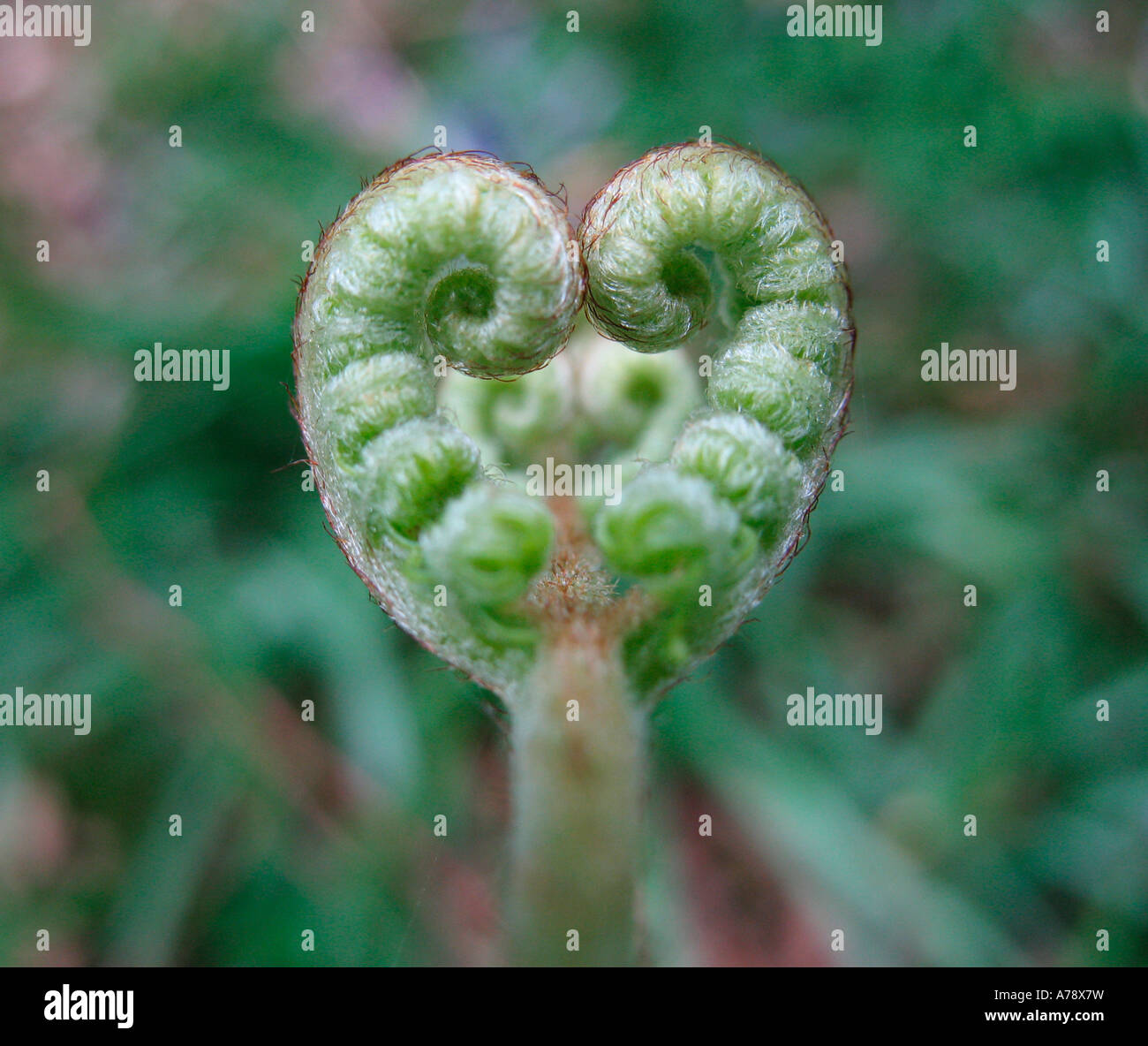 En forme de coeur une nouvelle feuille de fougère dans les premiers stades de croissance Photo Stock