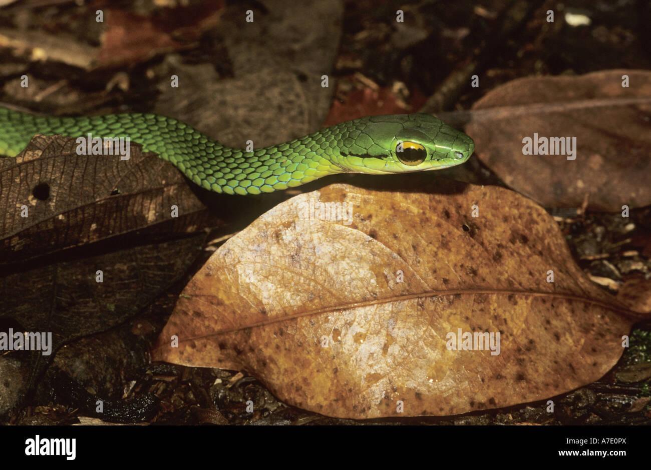 La Vine Snake, Serpent de vigne Copes (Oxybelis brevirostris), portrait Banque D'Images