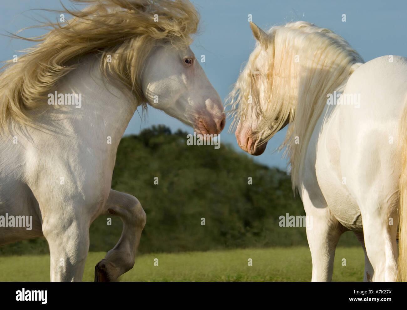 Deux chevaux de trait blanc d'affrontement etalons Banque D'Images