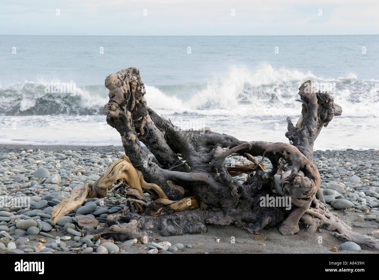 Racine de l\'arbre du bois flotté sur la plage de Gillespies Côte ...