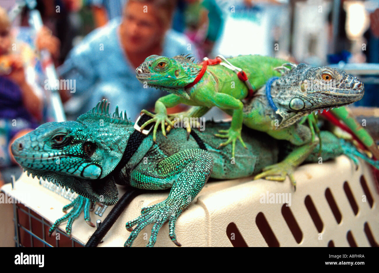 Des iguanes/lézards avec laisse en haut de la cage, New York, USA Photo Stock
