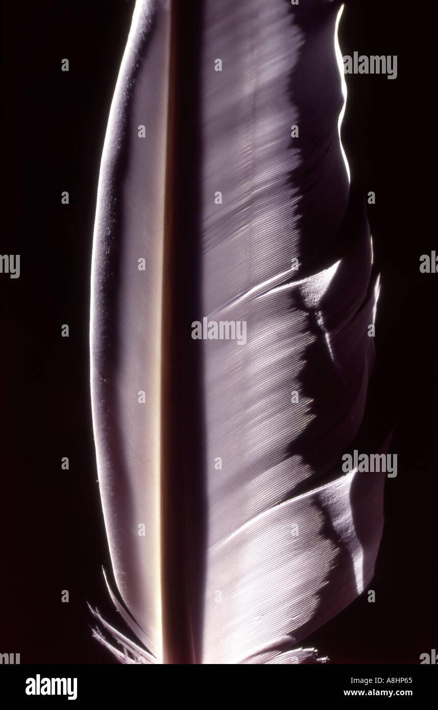 Détail de l'abstrait blanc Cygne tuberculé Cygnus olor primaire en plumes de vol sur fond noir Photo Stock