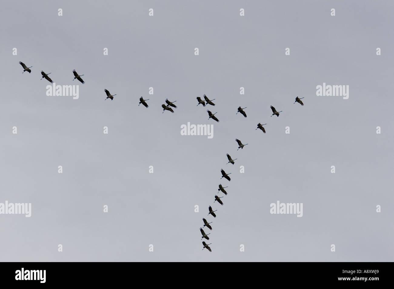 Flock battant de grues cendrées (Grus grus). Cher - France. Vol en formation de grues cendrées (Grus grus). Cher - France 18 Photo Stock