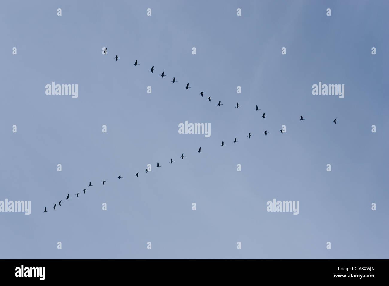 Flock battant de grues cendrées (Grus grus). Cher - France. Vol en formation de grues cendrées (Grus grus) (Cher 18 - France). Photo Stock