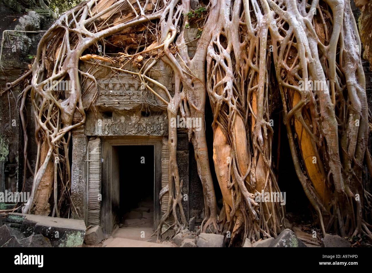 Angkor Wat, Siem Reap, temple envahi par les racines des arbres Photo Stock