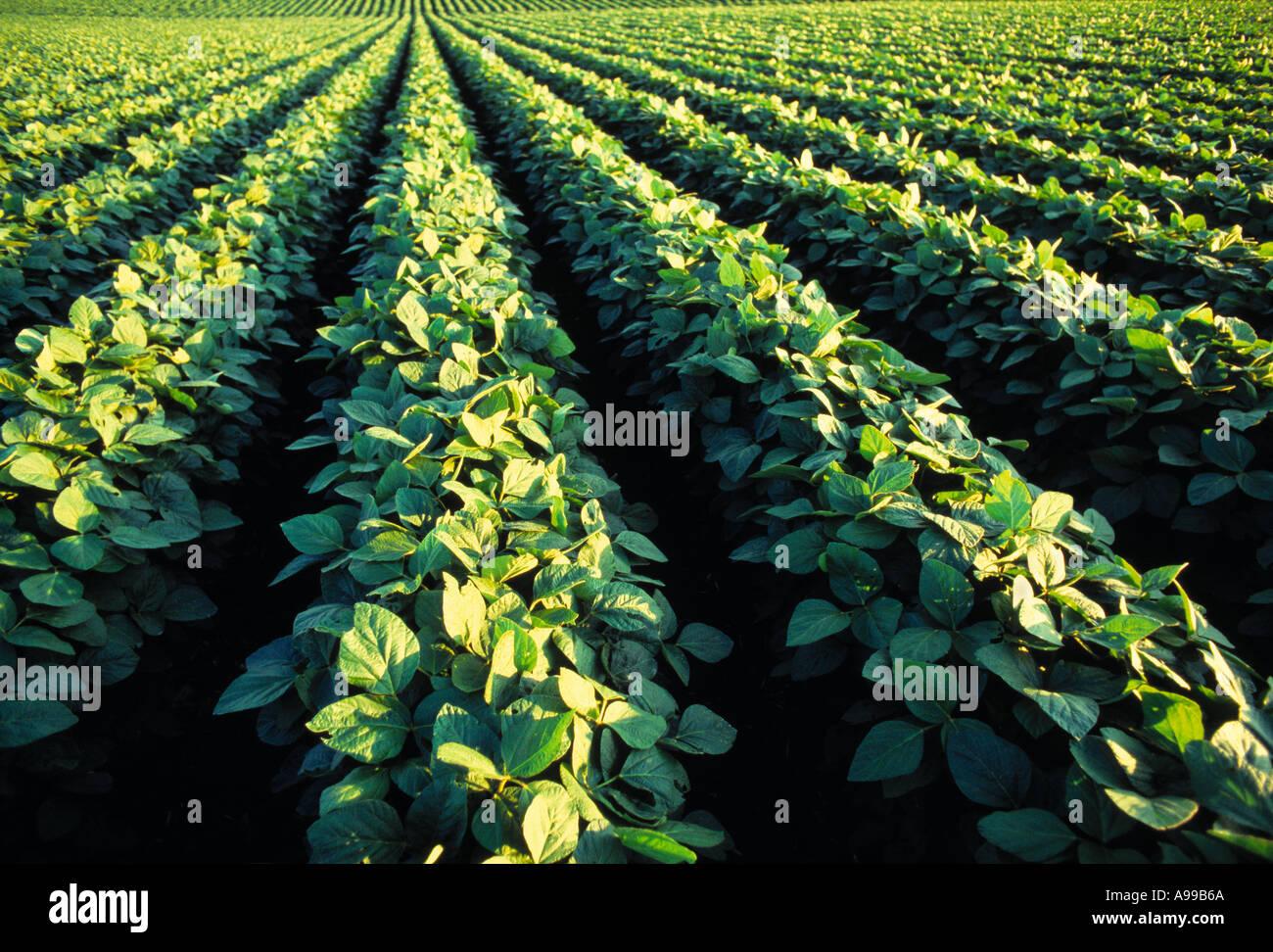 La croissance de l'Agriculture - Milieu / champ de soja en Iowa, États-Unis. Banque D'Images