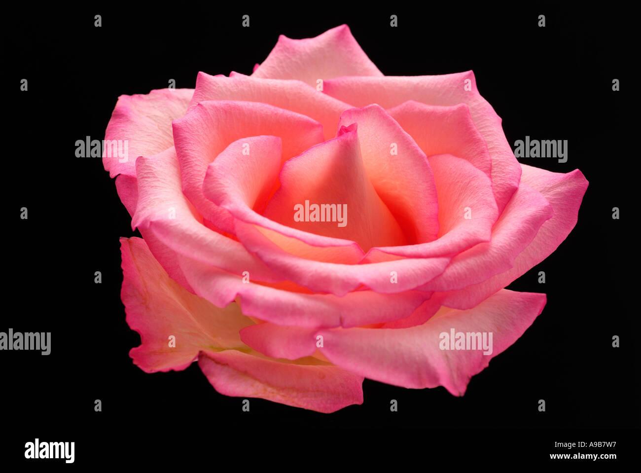Rouge Noir Rose Fleur Nature Unique Tige Feuille Decoupe Naturel