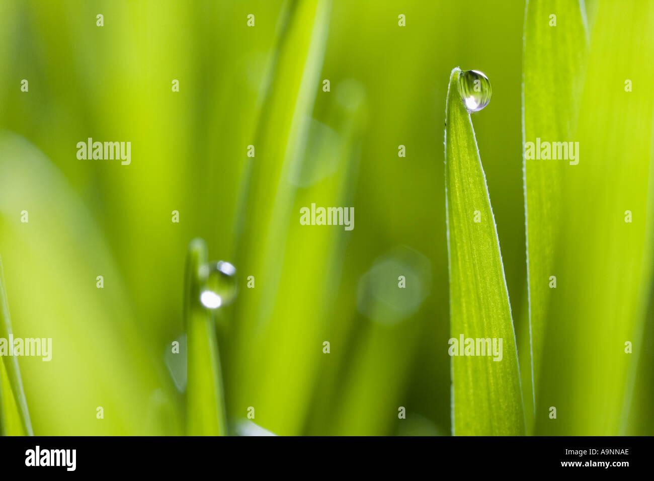 Gouttes d'eau sur des brins d'herbe Photo Stock