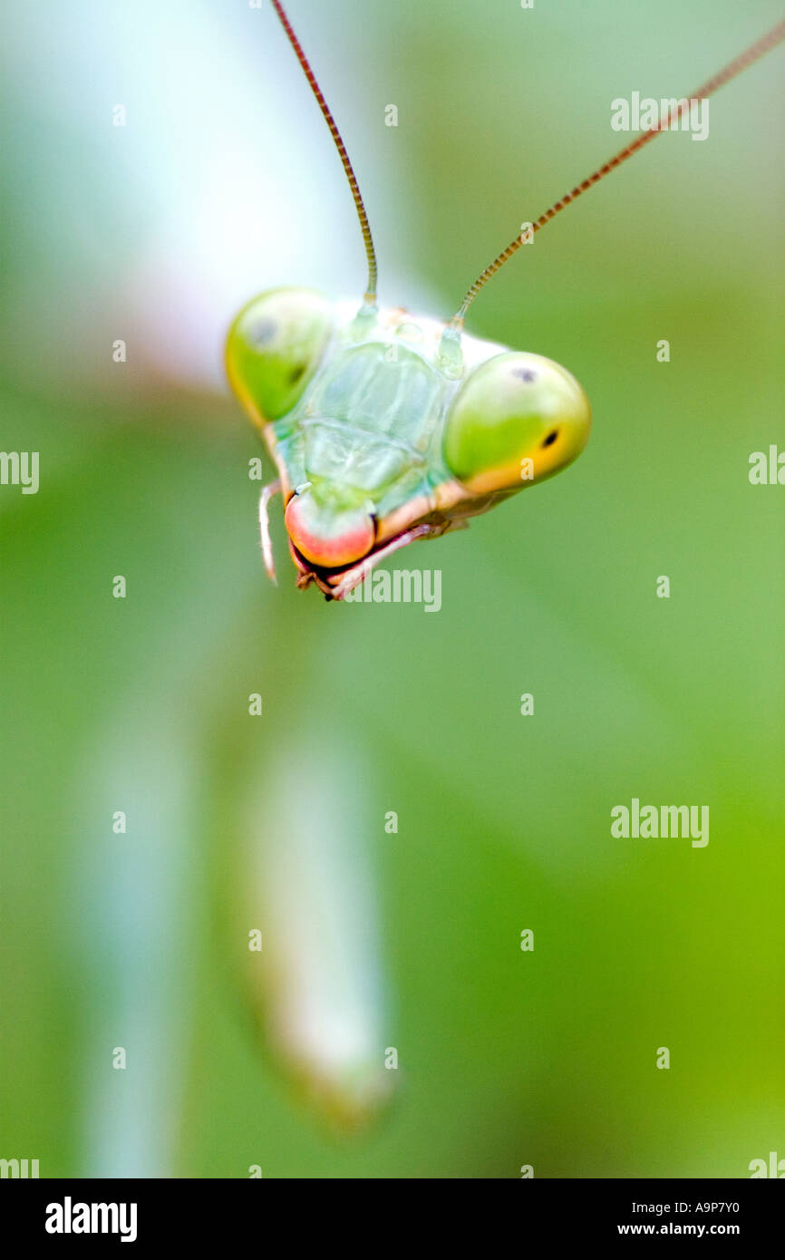 Détail de la tête de macro de mantes sur plante verte Photo Stock