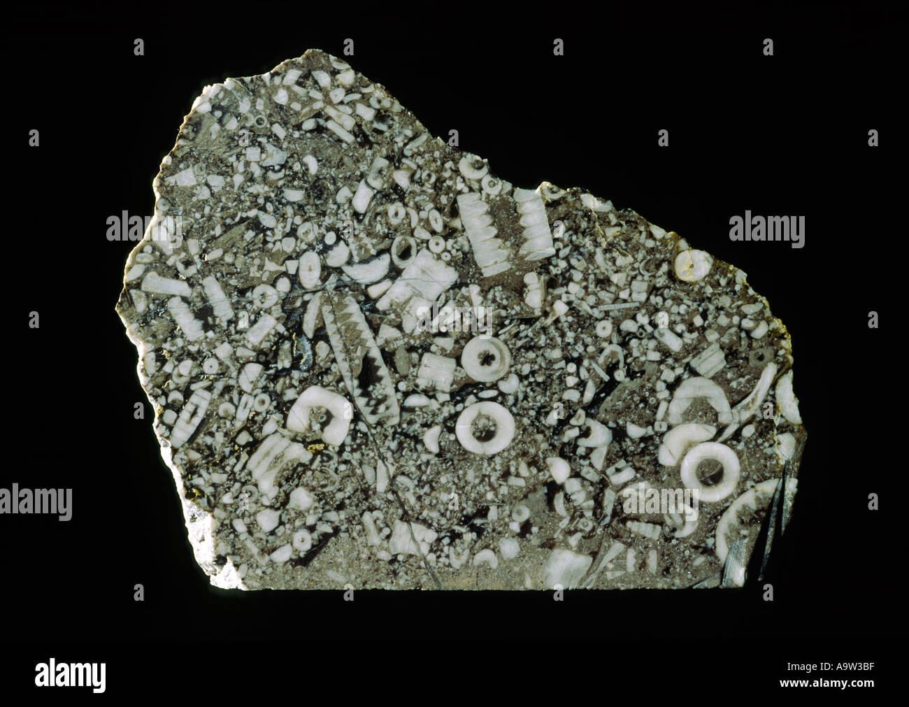 Échantillon de roche calcaire. Excellent exemple de fossiles de crinoïdes lily mer Treakcliff Caverne, Photo Stock