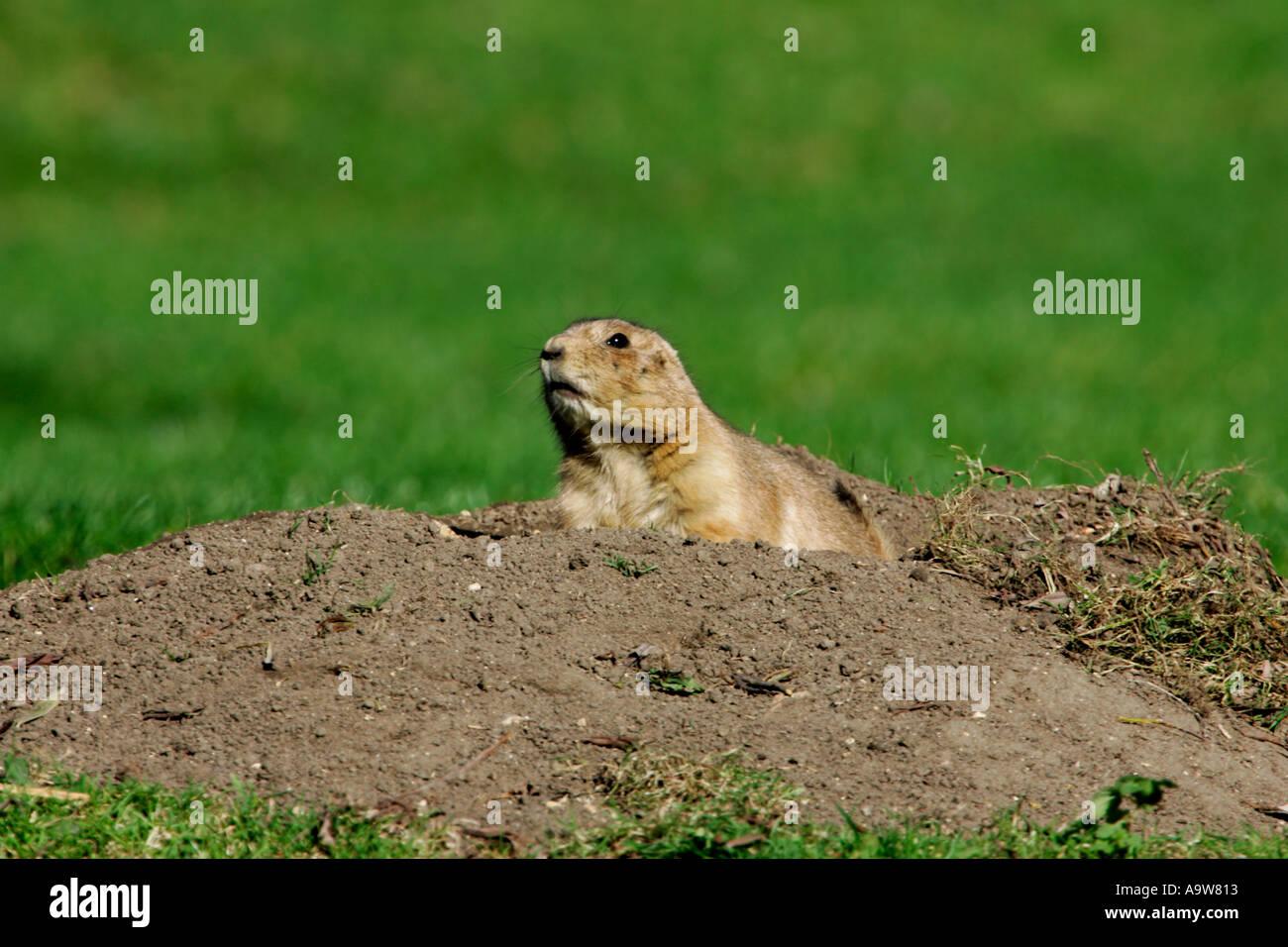 Les chiens de prairie Cynomys ludovicianus alerte à la Photo Stock