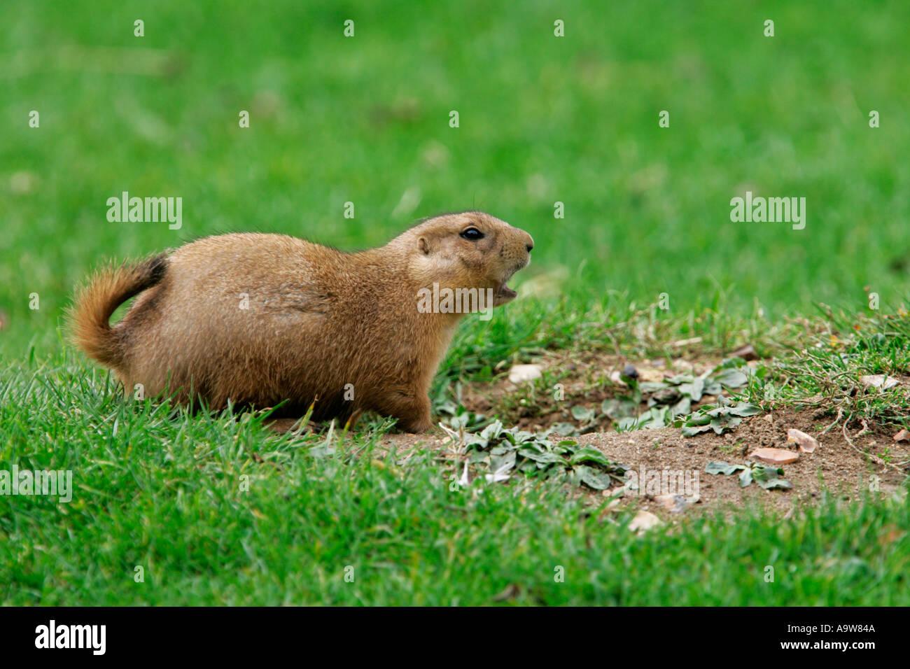 Les chiens de prairie Cynomys ludovicianus standing looking alerte avec queue de haut et à alert Photo Stock