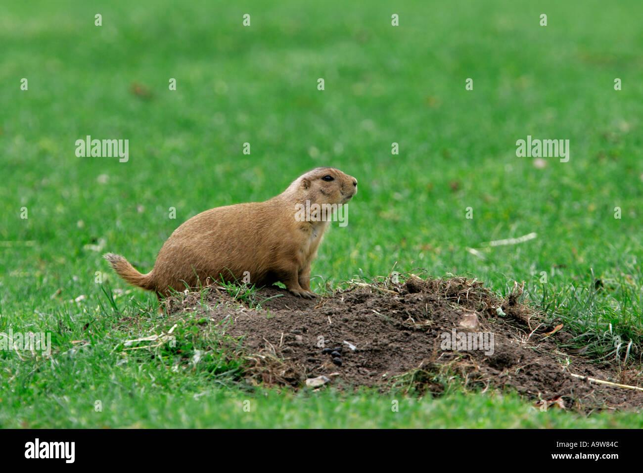 Les chiens de prairie Cynomys ludovicianus debout à Alert Photo Stock