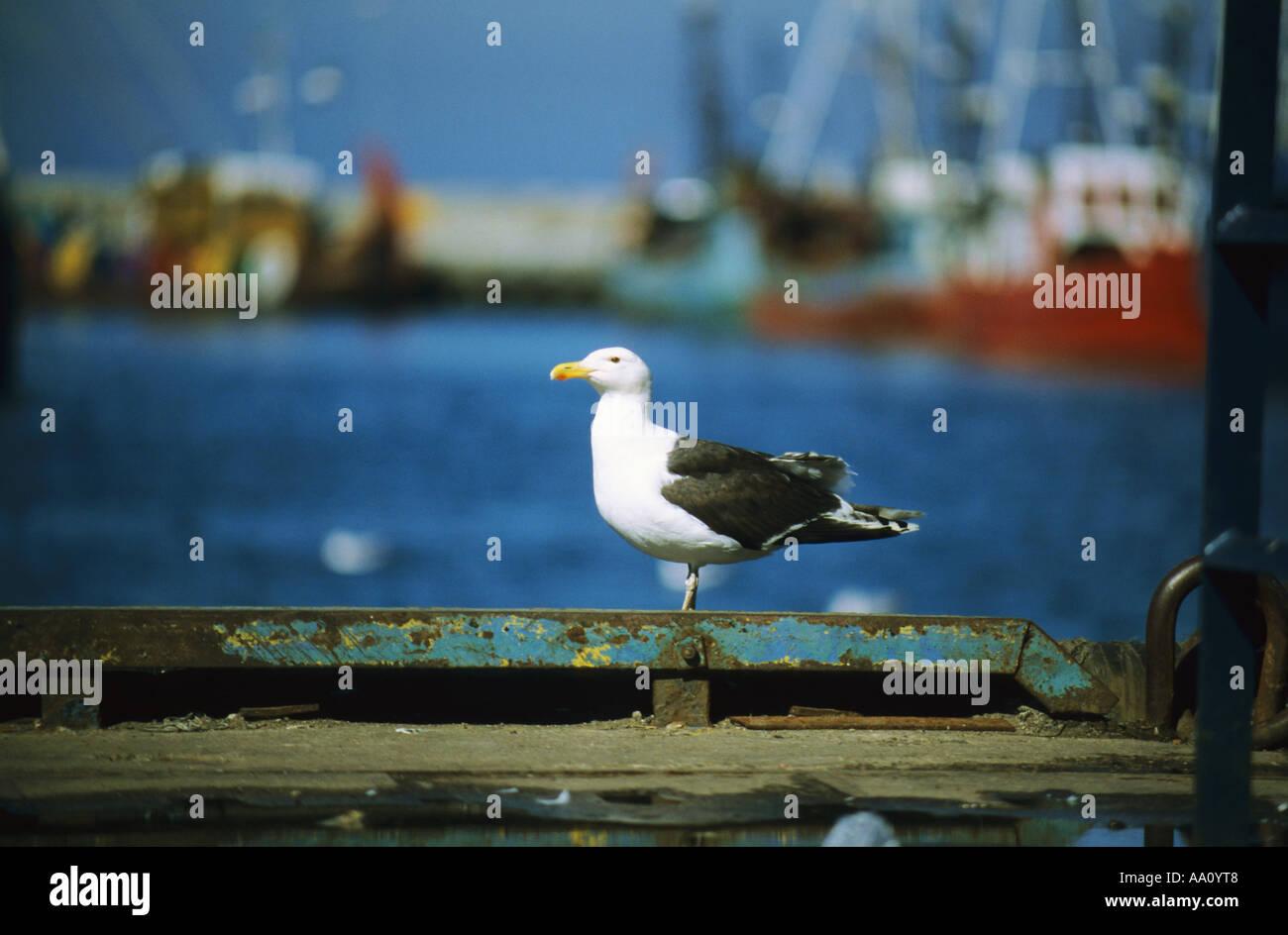 Un sea-gull Photo Stock