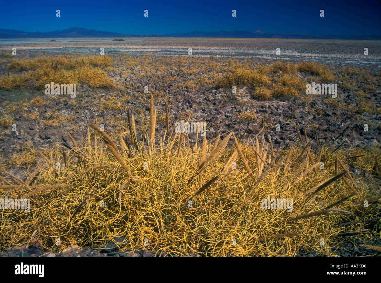 Plantes sel dans Salinas Grandes dans la Puna argentine Banque D'Images