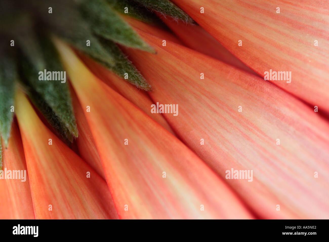 Barberton Gerbera Flower Daisy Photo Stock