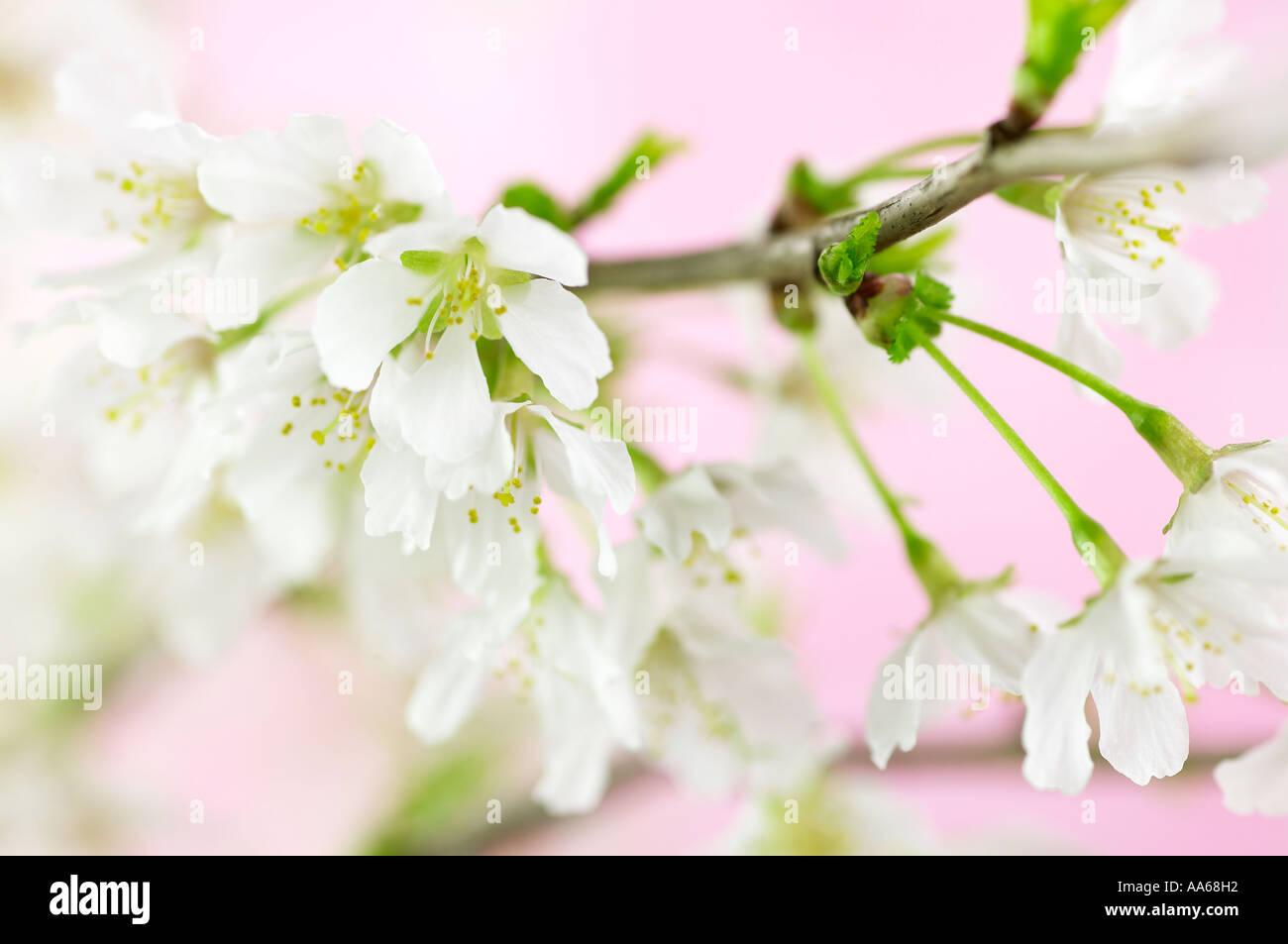 Prunus Incisa Kojo No Mai Fleur De Cerisier Blanc Sur Fond Rose