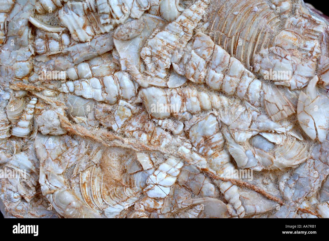 Fossiles Photo Stock
