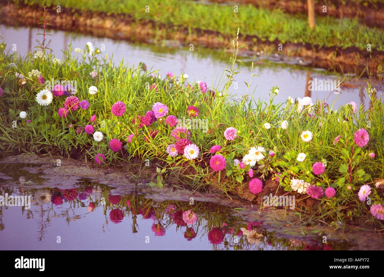 Jacinthes d 39 eau jardin flottant au lac inle myanmar for Jardin flottant