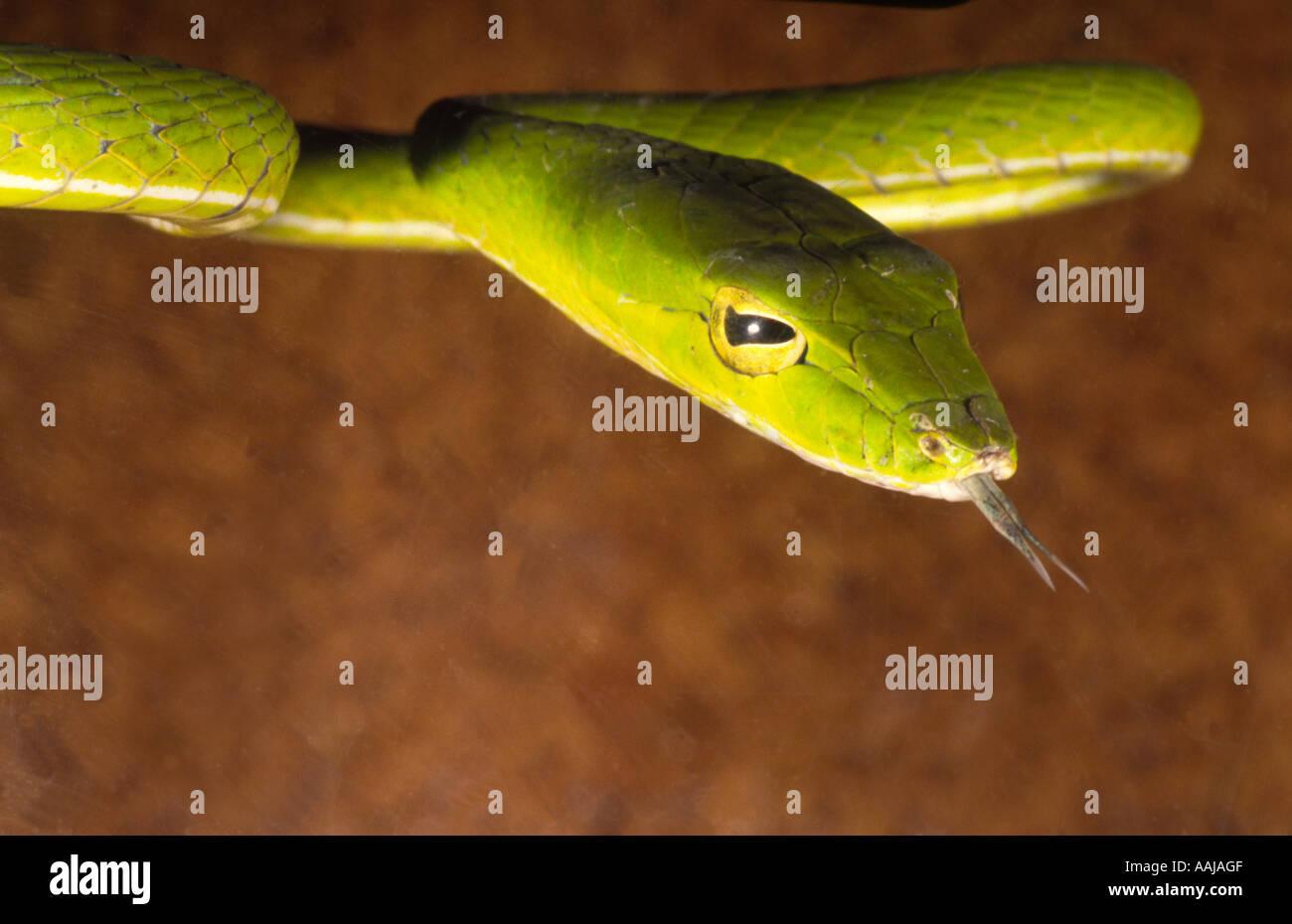 Serpent long nez Dryophis nasuta Amérique du Nord de l'habitat Banque D'Images