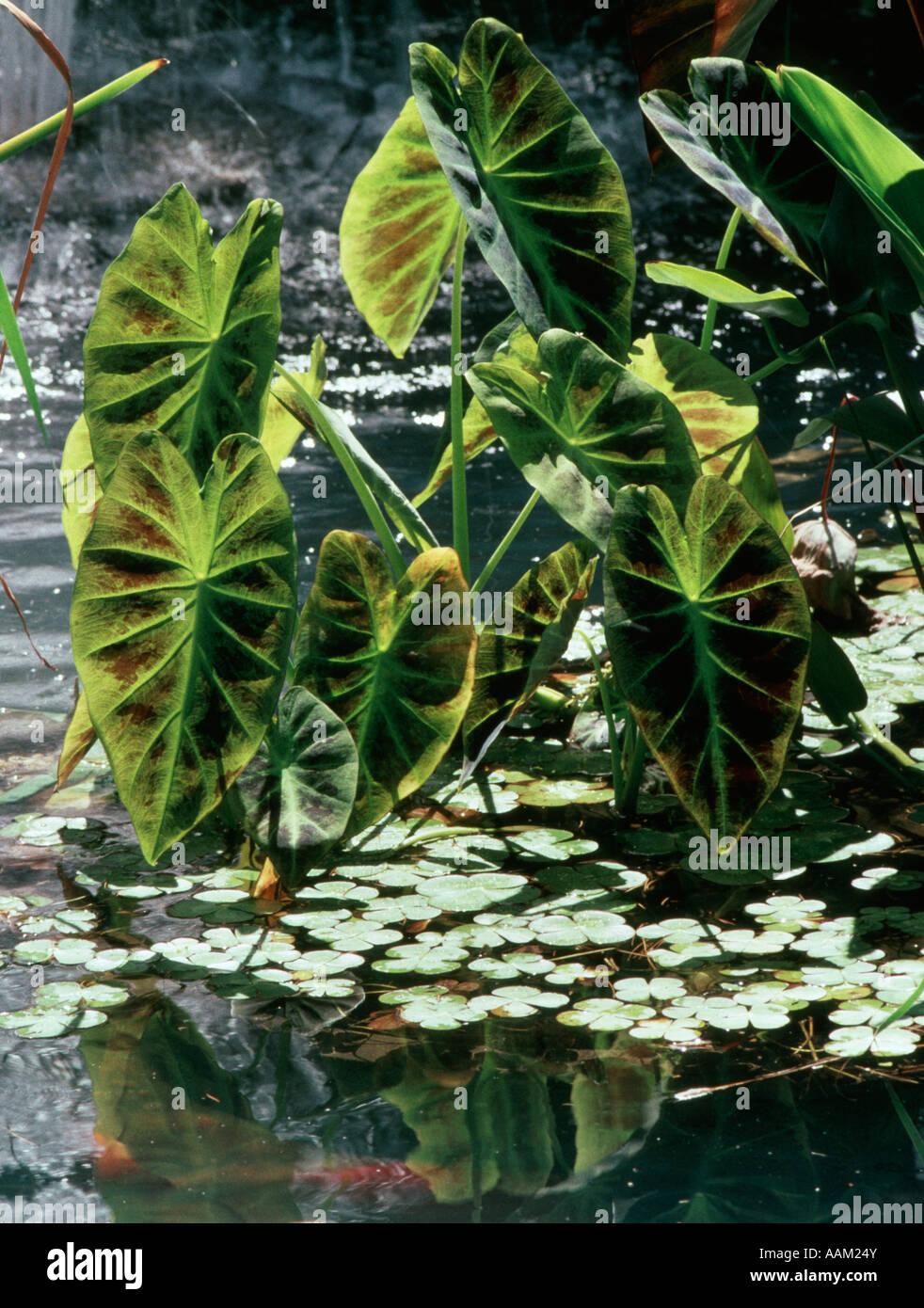 Étang AVEC DES PLANTES ORNEMENTALES EN PROFONDE COUPURE PARK COMTÉ DE MONMOUTH, NEW JERSEY Photo Stock