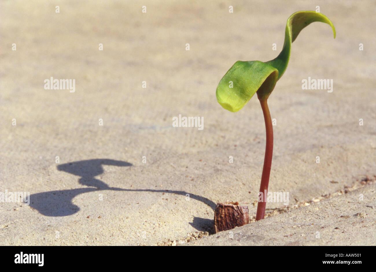 De plus en plus des semis Sycamore entre dalles Photo Stock