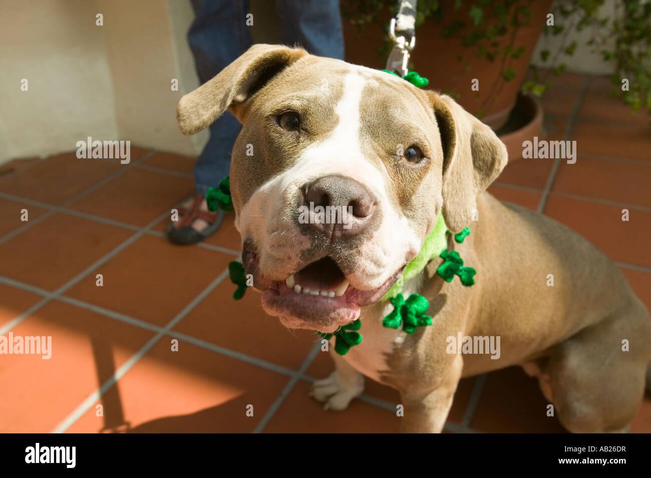 Portrait humoristique d 39 un chien avec un green st patrick s day sur col banque d 39 images photo - Animaux humoristiques ...