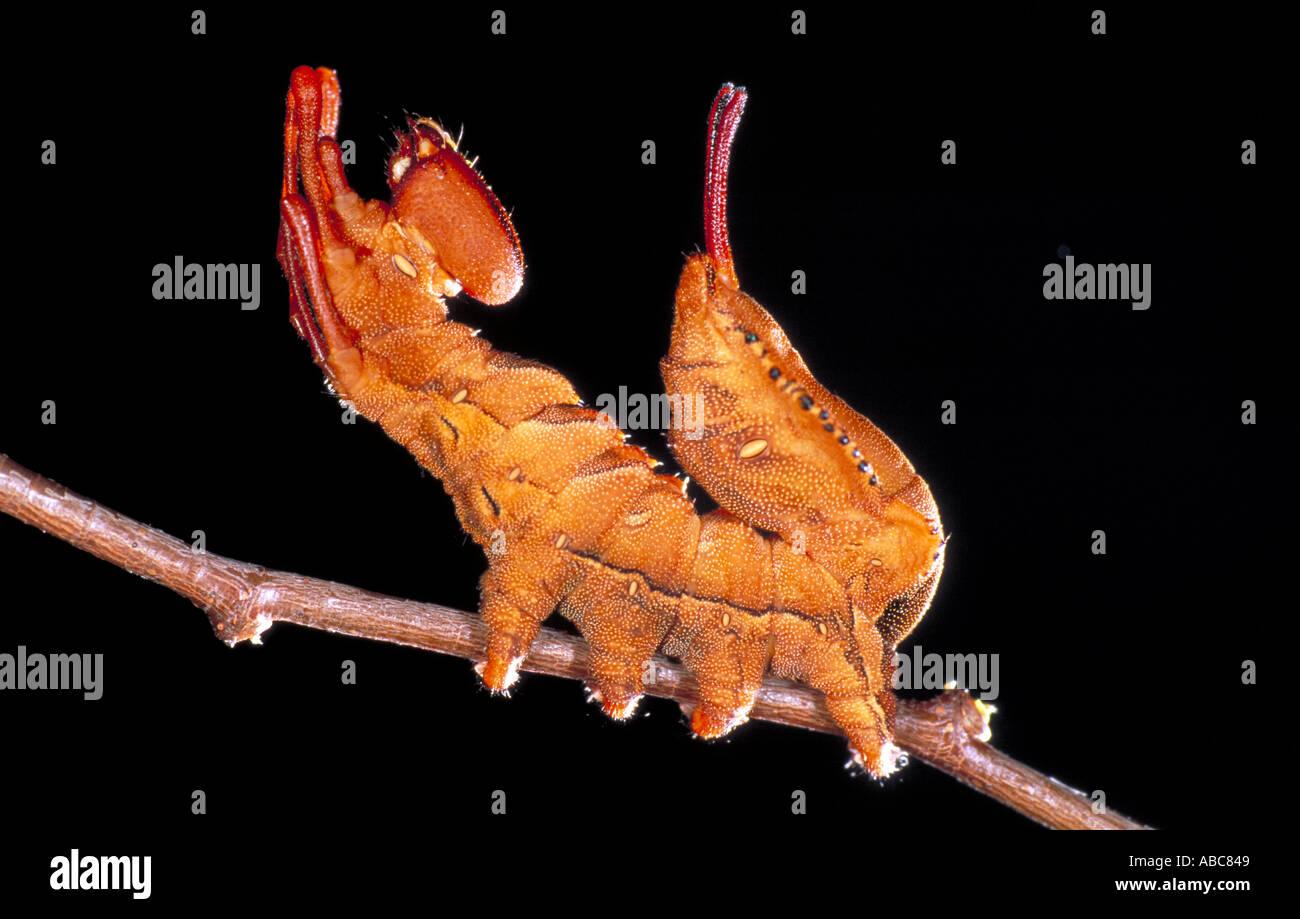 Espèce de homard dans la défense britannique Caterpillar posent Photo Stock