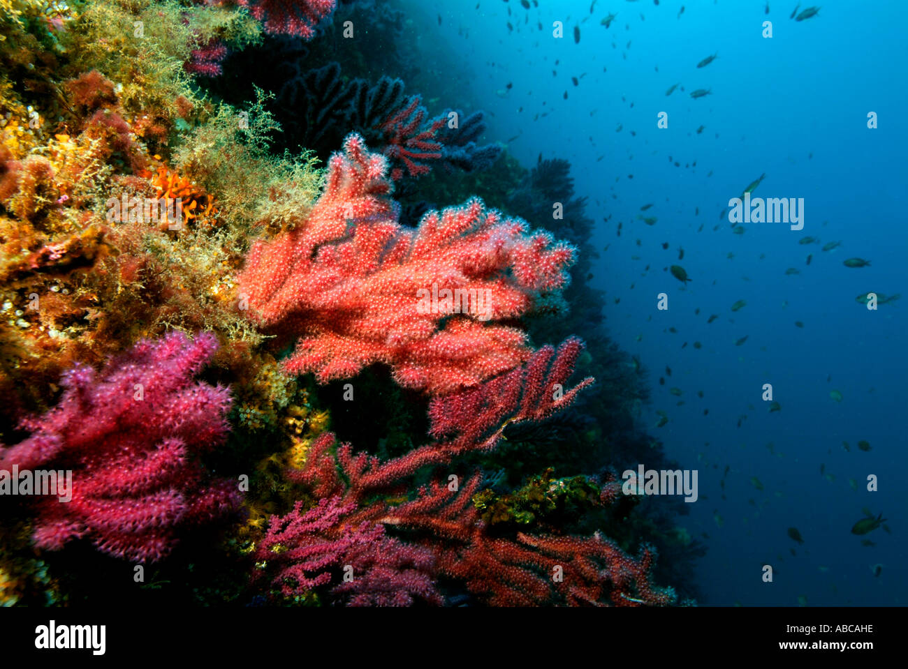 Gorgones rouges (Alcyonium palmatum) sur un récif de corail Photo Stock