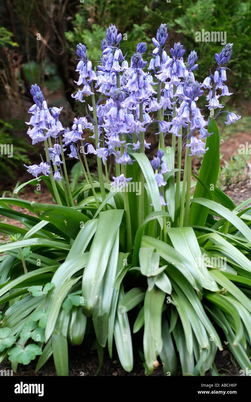 Blue Bell ombre bois sauvage printemps fleurs Endymion ampoule hyacinthoides non scripta couleur Banque D'Images