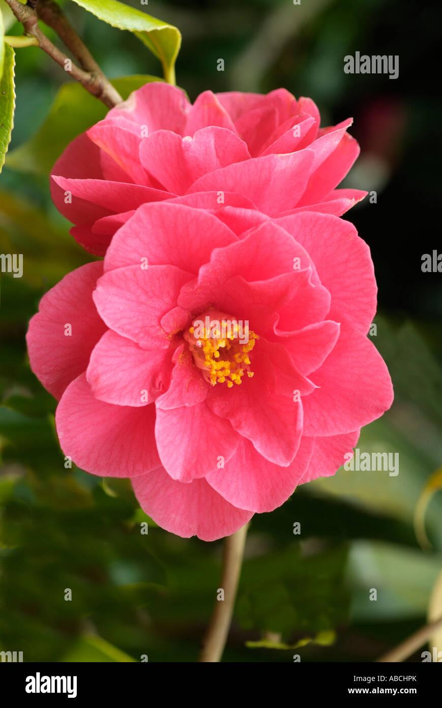 Camellia japonica oranger botanique fermer macro close-up closeup fleur pétale étamine anthère bractée jardin printemps woody bush ombre pl Banque D'Images